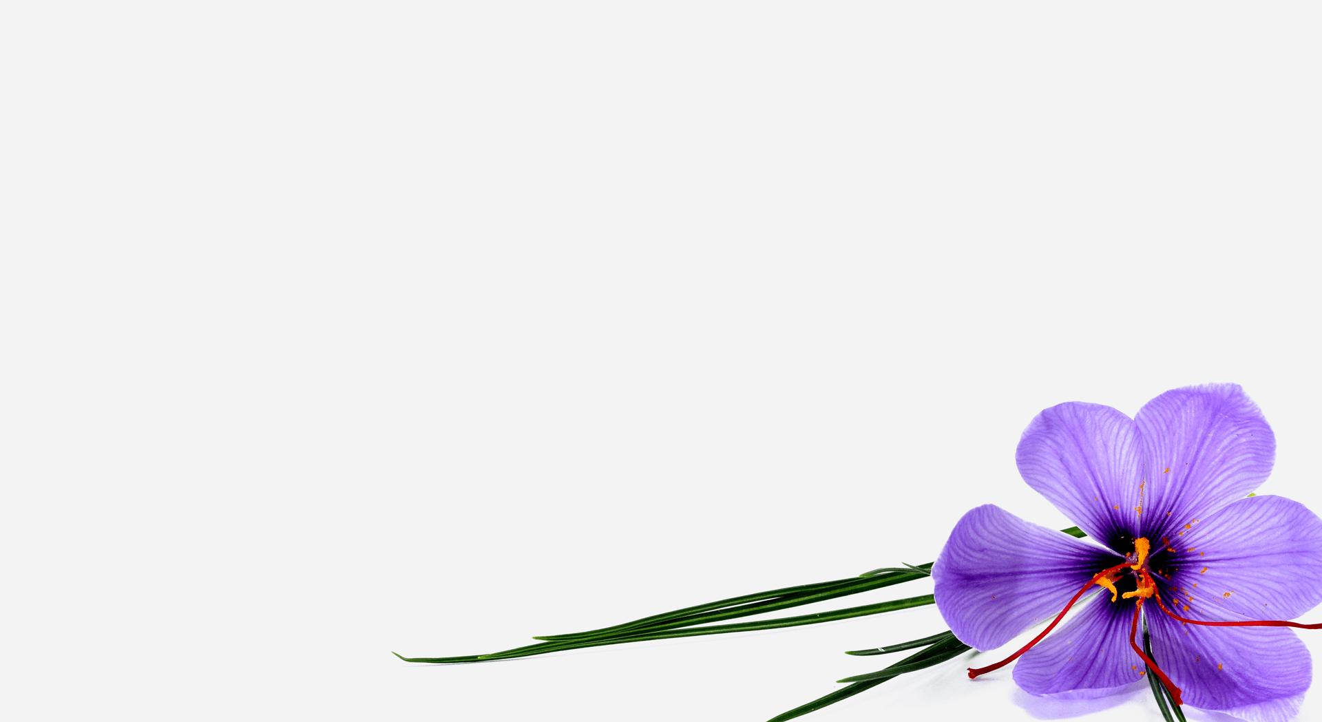 lila-blume-gross